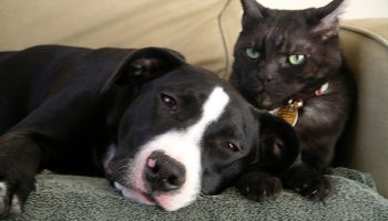 A Comprehensive Survey On Companion Animals In Chicago