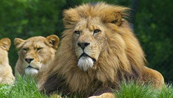 Shifting Cultural Perspectives On Lions In Tanzania