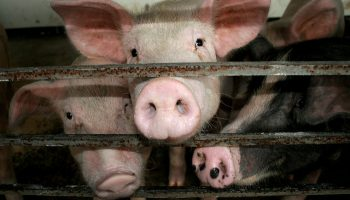 Pig Welfare At Slaughter: An International Review