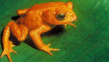 Golden Toad (endangered)