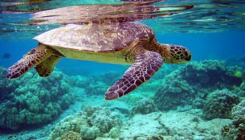 Studying Turtle Migration Patterns To Inform Conservation