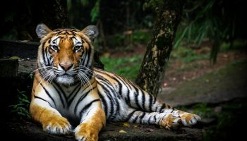 Tiger Poaching In India