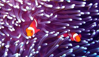 Boat Noise And Coral Reef Fish