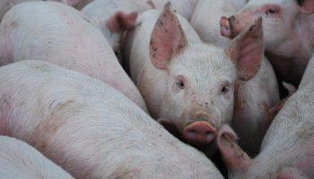 Optimism (and Pessimism) In Pigs