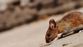 brown mouse on pavement