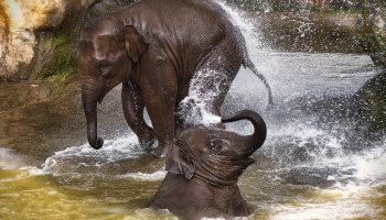 The Status Of Asian Elephants In Southern India