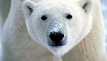 Protecting Polar Bears With A Large Marine Ecosystem Approach