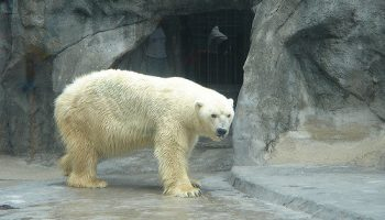 Polar Bears, Zoos, And Repetitive Pacing
