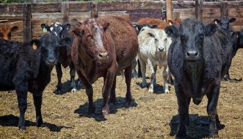 Using Microwave Energy For Better Welfare During Slaughter