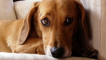 Setting Policies For Emotional Support Animals