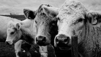 Does Being 'Informed' Change Public Opinion On Dairy Welfare?