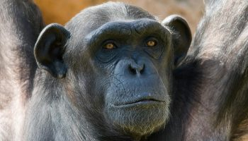 The Importance Of Chimpanzee Welfare