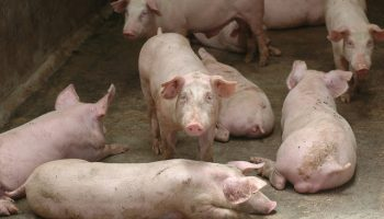 Levels Of Pig Welfare And Consumer Preference
