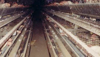 Is 'Sustainable Intensification' Of Chicken Production Possible?