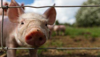 'Real Welfare' Protocols At U.K. Pig Farms
