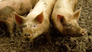 Pigs Can Perceive And Estimate Time Passing