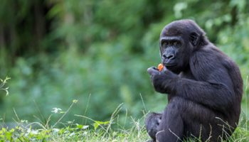 Population Modelling And Reintroduction: A Case Study With Gorillas