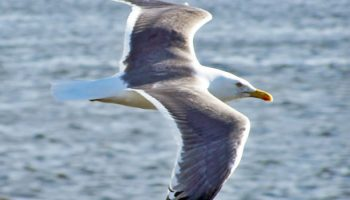 Demonization Of Wildlife: A Case Study With Sea Gulls In Britain
