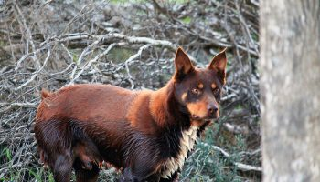 Surrendered And Stray Dogs In Australia: A Review