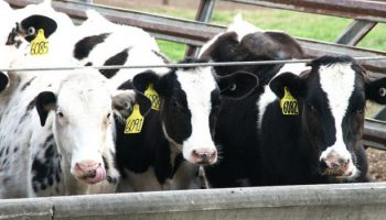 Drivers' Knowledge Of Cows' Fitness For Transport