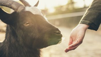 Measuring Animal Welfare Over Time: A Case Study With Goats