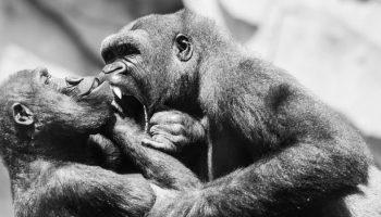 Bonobos and 'Xenophilia'