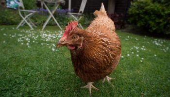 Chicken Ethology: An Overview
