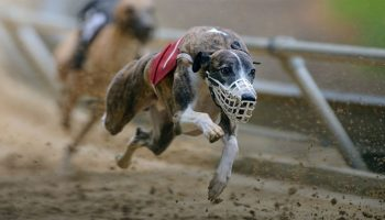 Greyhound Racing And Drugs