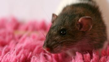 Tickling Rats For Improved Captive Welfare
