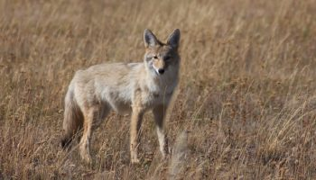 Tailoring The Message To Prevent Human-Coyote Conflicts