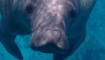 Manatees And Marine Debris: News From Brazil