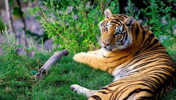 Captive Sumatran Tigers And Quality Of Life