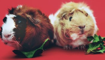 Guinea Pig Welfare During Animal-Assisted Therapy