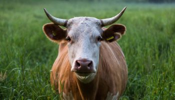 The 'Sustainability' of U.S. Cow Production