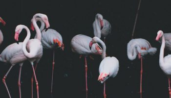 Captive Flamingos And Animal Welfare