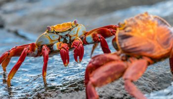 A Compelling Case For Crustacean Compassion