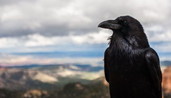 Wildlife Management And Public Engagement: A Case Study On Crows