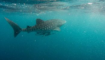 Conservation And Economic Development: A Case Study With Whale Shark Tourism