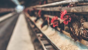 Assessing Layer Hen Welfare In Small Furnished Cages