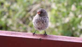 Galapagos Finches Are Altering Behavior Because Of Us