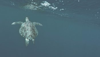 Microplastics Ingested By All Sea Turtles