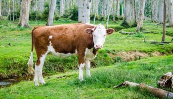 Is Naturalness Possible In Farmed Animal Production?