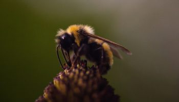 Glass Half-Full: Optimistic Bumblebees