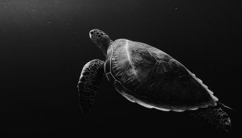The Vital Importance Of Turtles