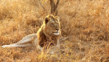 Lion Population Bounce-Back After A Trophy Hunting Moratorium