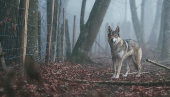 Wolves Lead, Dogs Follow, And Both Cooperate With Humans