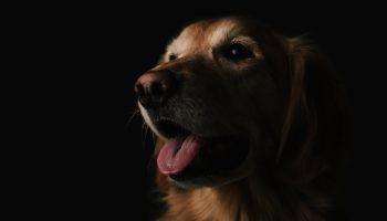 golden retriever against a black background