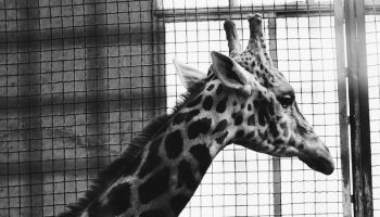 captive giraffe looking out of a metal grate cage