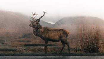 deer standing hear a road and a misty mountain