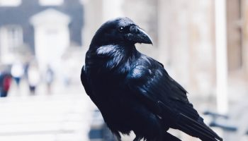 raven in the city